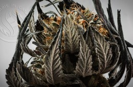 Candid_Cannabis-01_Lindsay-005