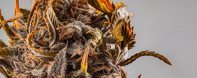 Candid_Cannabis-02_Chads-Emerald-Cookie-002