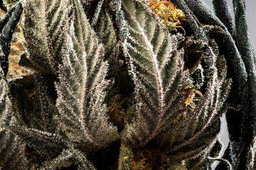 Candid_Cannabis-07_Lindsay-003