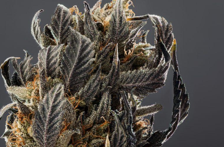 Candid_Cannabis-12_Lindsay-007