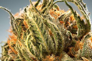 Candid_Cannabis-16_Nuken-closeup-002