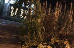 cannabis vancouver city hall