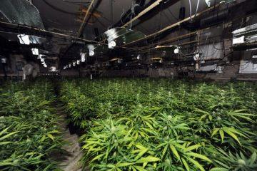 cannabisfarm1