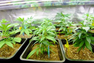 growing cannabis