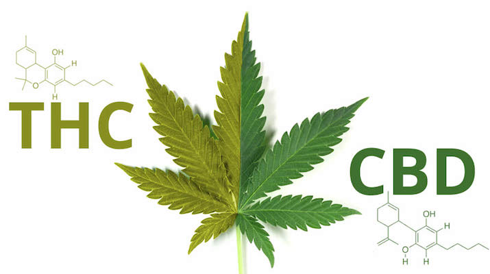 greenrushdaily-cbd-vs-thc
